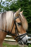 Horse head. A portrait of a fjord horse with tack and bridle (english style Stock Images
