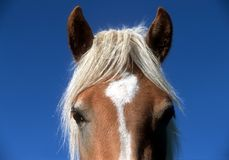 Horse head Royalty Free Stock Images