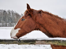 Horse head. The head of a beautiful, brown and white horse Stock Photography