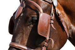 Horse head in bridle close isolated on white. Royalty Free Stock Photos
