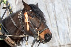horse head in bridle with ribbon