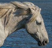 Horse head. A Camargue horse walking in the marshes of southern France at the end of day royalty free stock photo