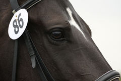 Horse head close-up. Close-up of a horse's head with bridle and number stock photo