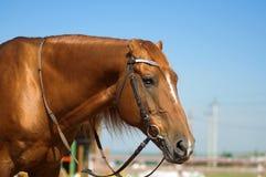 Horse head close up Royalty Free Stock Photo