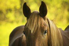 Horse head close up. Brown race horse (Breed Trakehner Stock Photo