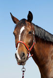 Horse head close up in front of blue sky Royalty Free Stock Photography