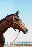 Horse head close up in front of blue sky Stock Image