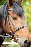 Horse. Head close up. Horse head portrait in harness close up Stock Image