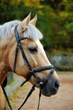 Horse. Head close up. Stock Photography