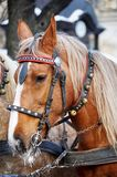Horse. Head close up. Horse head portrait in harness close up Royalty Free Stock Images