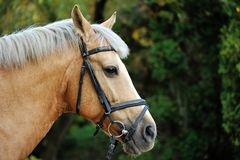 Horse. Head close up. Horse head portrait in harness close up Royalty Free Stock Image