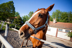 Horse head,close up Royalty Free Stock Photo