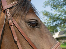 Horse Head closeup Royalty Free Stock Photography