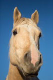 Horse head closeup. Portrait of a Palomino head in front of deep blue sky background Stock Photos