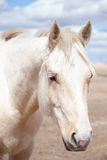 Horse head closeup Royalty Free Stock Images