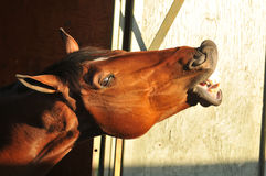 Horse head coming out of the stable door Royalty Free Stock Images