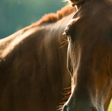 Horse head detail closeup Royalty Free Stock Photography