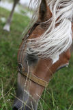 Horse head eating grass Stock Photo