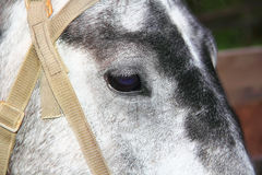 Horse head and eye Stock Photography