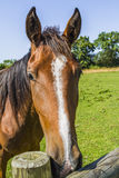Horse head. A horse in the field Royalty Free Stock Image