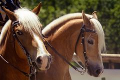 A horse head of haflinger orange brown with white mane and brown halter looking right portrait stock image