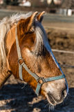 Horse Head With Halter During Sunny Winter Day Stock Photo