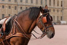 Horse head in harness. On the background of the Gatchina Palace Stock Photo