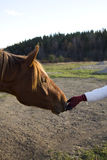 Horse Head and Human Hand Royalty Free Stock Photography