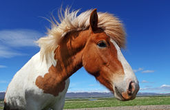 Horse head in Iceland Stock Images