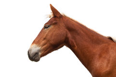 Horse head isolated Stock Photography