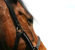 Horse head (isolated) Royalty Free Stock Photo