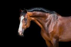 Horse head isolated on black, Holstein horse Stock Photos
