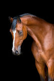 Horse head isolated on black, Holstein horse Stock Photos