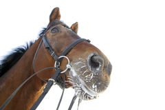 Horse head isolated and frost. Horse head and frost isolated on white Royalty Free Stock Photos