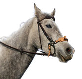 Horse head isolated. Head of white arab horse with bridle isolated Stock Photos
