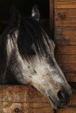 Horse head with a mane of black spots and looks out from a wooden stall Stock Photo