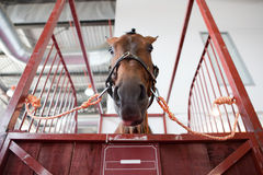 Horse head in manege box. Horse portrait standing in manege box. Low angle shot Stock Images