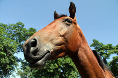 Horse. Head and neck of horse closeup Royalty Free Stock Image