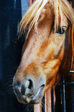Horse head portrait. The animal looks at viewer Stock Images