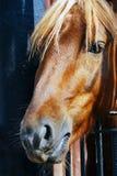Horse head portrait. Stock Images