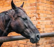 Horse head portrait on brick background. Close up royalty free stock photos