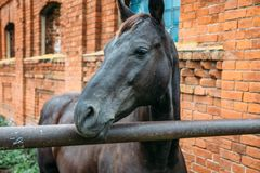 Horse head portrait on brick background. Close up royalty free stock images