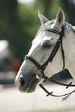Horse head portrait closeup at equestrian show jumping training Royalty Free Stock Images