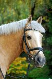 Horse. Head close up. Horse head portrait in harness close up Royalty Free Stock Photos