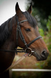 Horse head portrait in harness  . Horse head portrait in harness close up Stock Photography