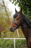 Horse head portrait in harness  . Horse head portrait in harness close up Royalty Free Stock Photos