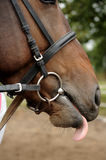 Horse head portrait in harness  . Horse head portrait in harness close up Royalty Free Stock Photo