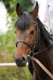 Horse head portrait in harness  . Horse head portrait in harness close up Stock Image