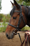 Horse head portrait in harness  . Horse head portrait in harness close up Stock Photos