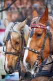 Horse. Head close up. Horse head portrait in harness close up Stock Photos